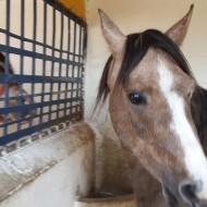 Les-deux-poneys-installés